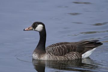 Canada Goose and Greylag Goose hybrid