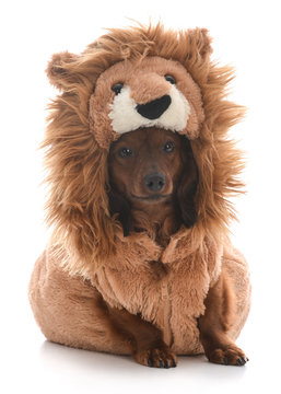dog wearing lion costume