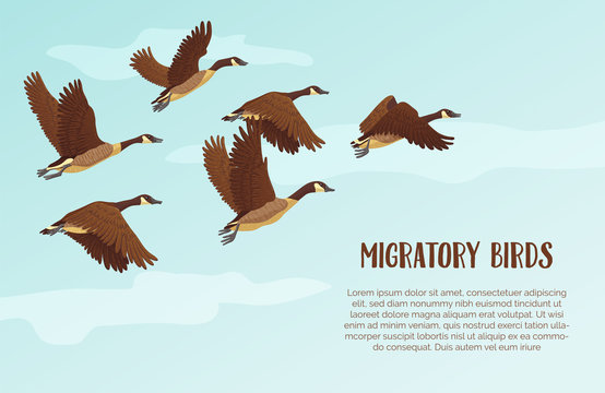 Flock of migrating geese flying. Migratory birds concept. Sky background with text. Vector illustration.