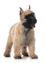 bouvier puppy standing