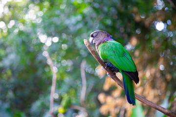 Green Parrot in nature