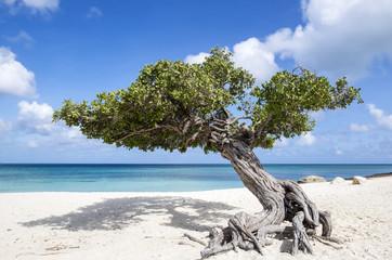 Divi Divi Tree on Eagle Beach Aruba, Caribbean