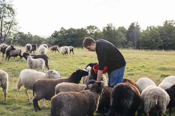 Teenage boy feeding flock of sheep on farm