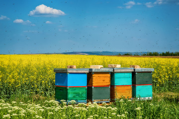hives with bees in the field with oilseed rape