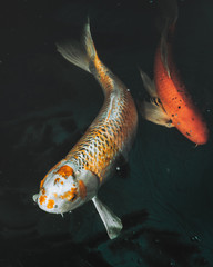 Koi fish in motion