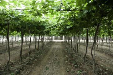 grape vines ready to harvest