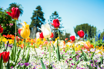Different coloured tulips in a field of flowers.