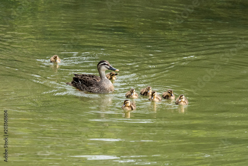 release date: e79cd a0396 The breeding season of spotbill ducks has come. Mother and ...