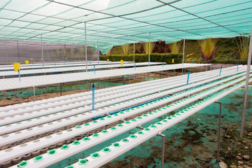 Fresh Green lettuce in hydroponics  cultivation of vegetables farm