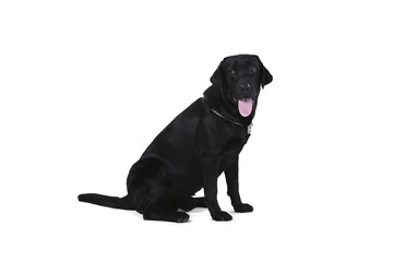 Black labrador retriever puppy 1 year old, sitting isolated on white background