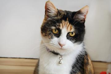 Calico Cat Making Eye Contact
