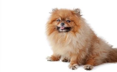 Cute cute little Pomeranian Pomeranian isolated on white background, portrait