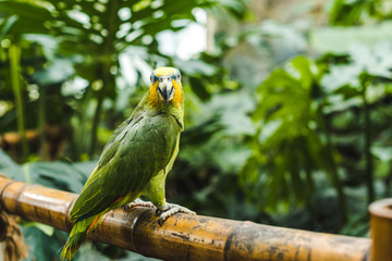 beautiful green afrotropical parrot perching on bamboo fence in tropical park