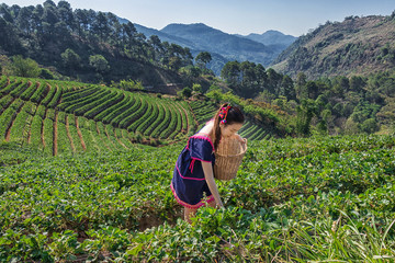Young Tribal Asian women from Thailand picking tea leaves with smiling face on tea field plantation in the morning at doi ang khang national park , Chiang Mai, Thailand. Beautiful Asia female model