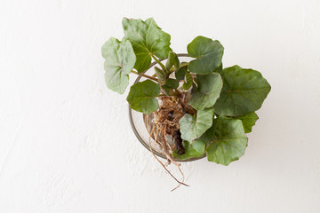 Young coltsfoot leaves with root on white background