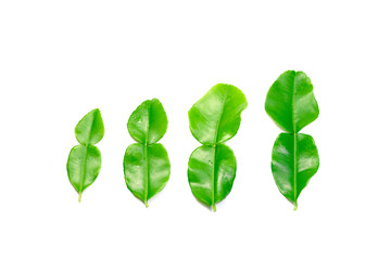 4 young green leaves of bergamot on white background isolated