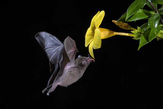 Pallas's Long-tongued Bat - Glossophaga soricina, new world leaf-nosed bat feeding nectar on the flower in night, Central America forests, Costa Rica.