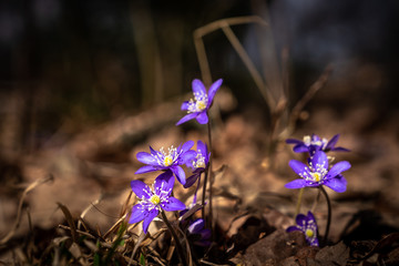 Light shining on purple scilla flowers in a forest glade early spring.