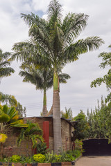 View of two palm trees in a garden in Nairobi