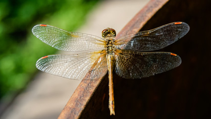 Close-up of dragonfly in nature, blured green background
