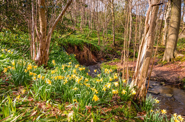 Wild Daffodils in Letah Wood / Letah Wood is a rural ancient woodland through which Letah Burn runs, near Hexham in Northumberland