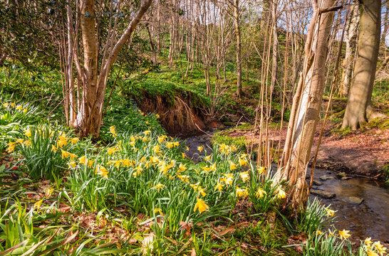 Wild Daffodils in Letah Wood / Letah Wood is a rural ancient woodland through which Letah Burn runs, near Hexham in Northumberland