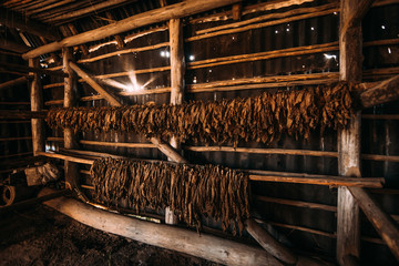 Drying of aromatic tobacco in wooden barn