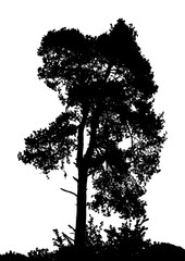 Realistic pine tree silhouette (Vector illustration).