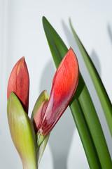 Red amaryllis flower bud, gorgeous element of wedding bouquets