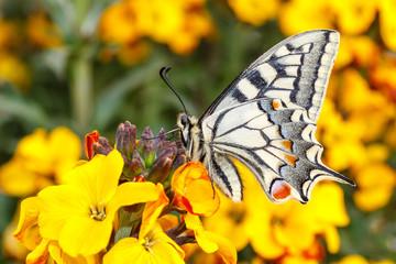 Papilio machaon. Macaón. Mariposa..