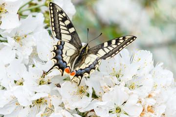Macaón. Mariposa. Papilio machaon.