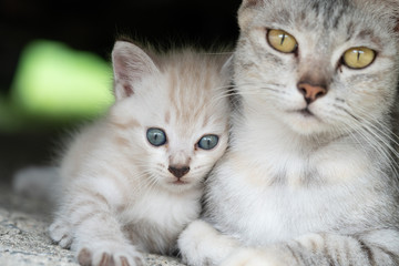 Beautiful gray mom cat with adorable kitten outdoors