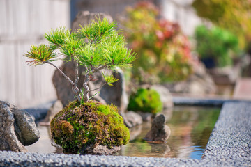 Bonsai tree, roots, water and green moss in Japanese garden. Romantic sunset above small trees