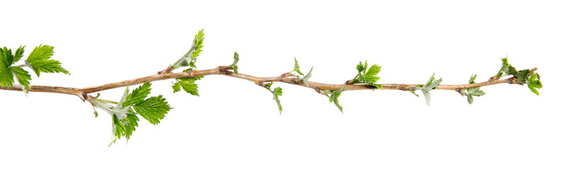 Branch of raspberry bush with foliage on isolated white background, close-up