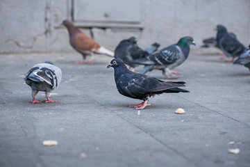 Pigeons fighting for food in the city center