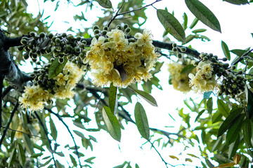 Durian flowers blooming before forming into fruits. Selective focus.
