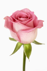 Single pink rose against a white background