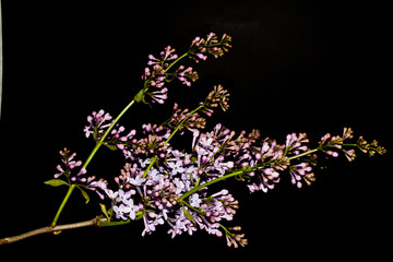 lilac isolated on a black background