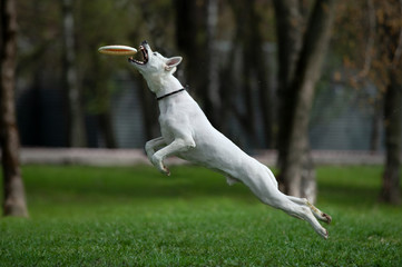 White shepherd catching the disk on dog frisbee