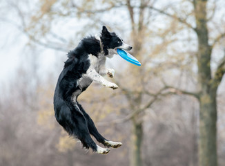 black and white border collie catch the disk during the dog frisbee