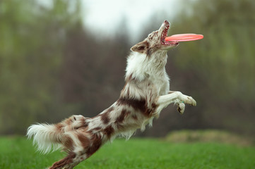 border collie catching the disk on dog frisbee