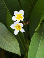 White flowers Plumeria or Frangipani with yellow heart on tree branch. Plumeria flower blooming on tree
