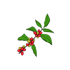 Hand drawn coffea plant