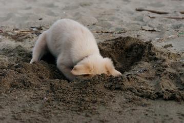 Cane scava la sabbia