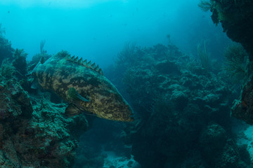 Underwater shot of goliath grouper among rocks, Quintana Roo, Mexico