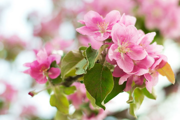 Branch with pink flower. Apple blossoms
