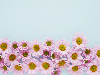 Composition of pink chrysanthemum flowers on a blue  background, top view, creative flat layout.