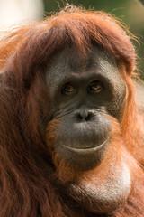 Fototapete - Orangutan