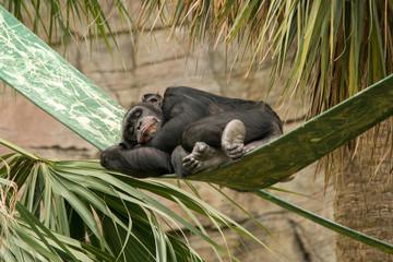 Wall Mural - Sleeping Chimpanzee