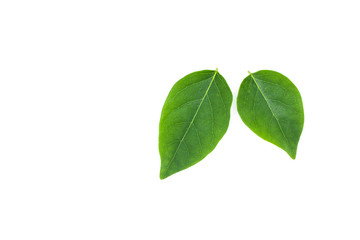 Fototapete - flat lay of green leaf isolated on white background